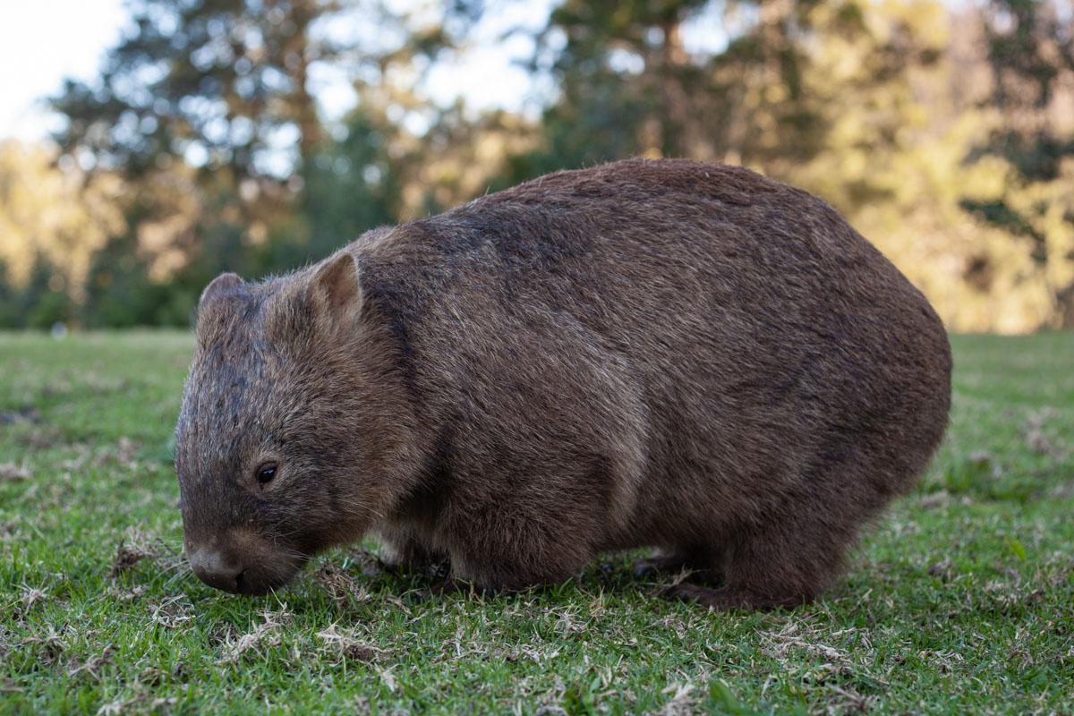 Wombat in Bendeela Recreation Area