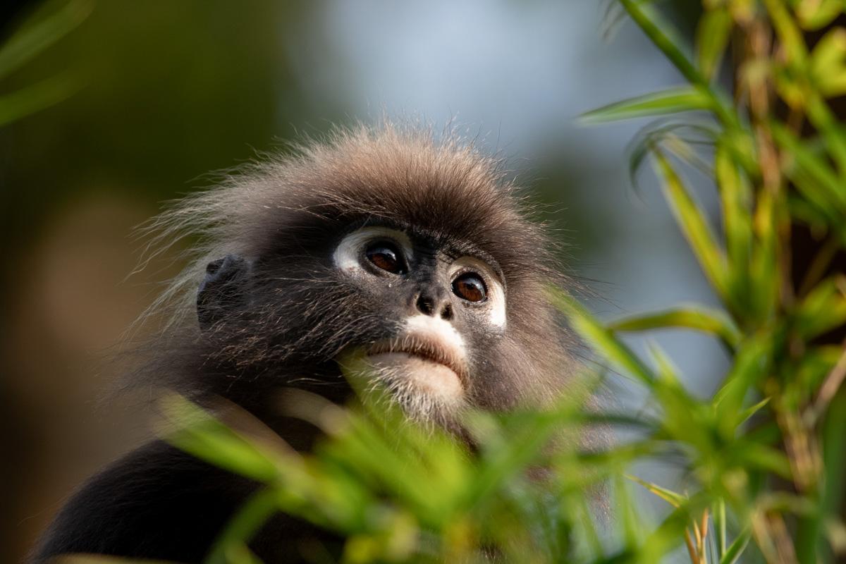 Dusky Leaf Monkey - Langkawi