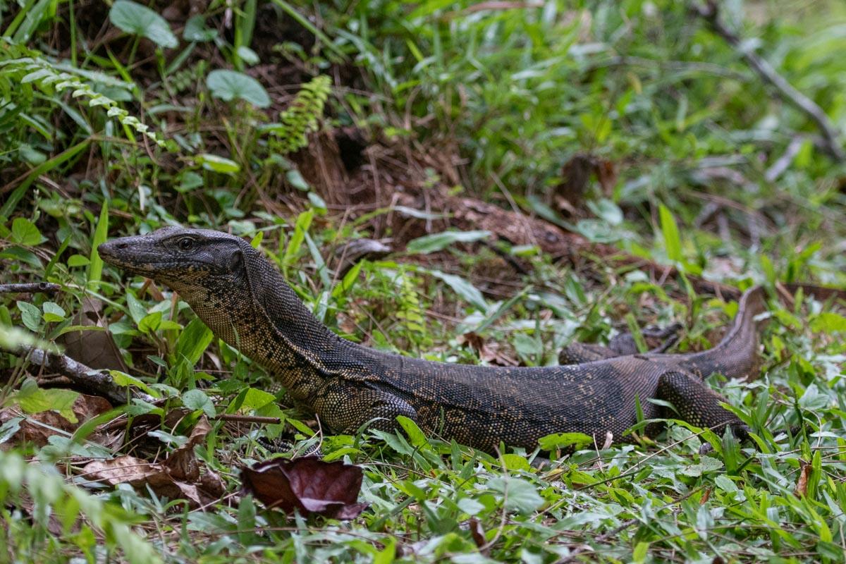 Monitor Lizard - Taman Negara