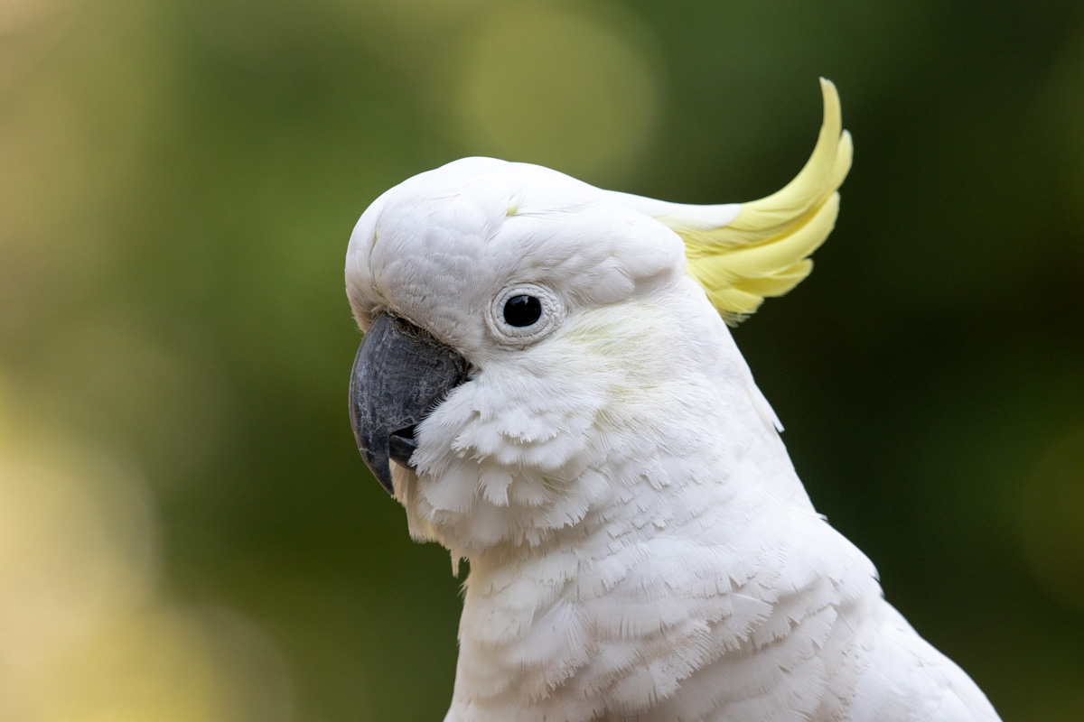 Sulphur-Crested Cockatoo - Woodlands Historic Park