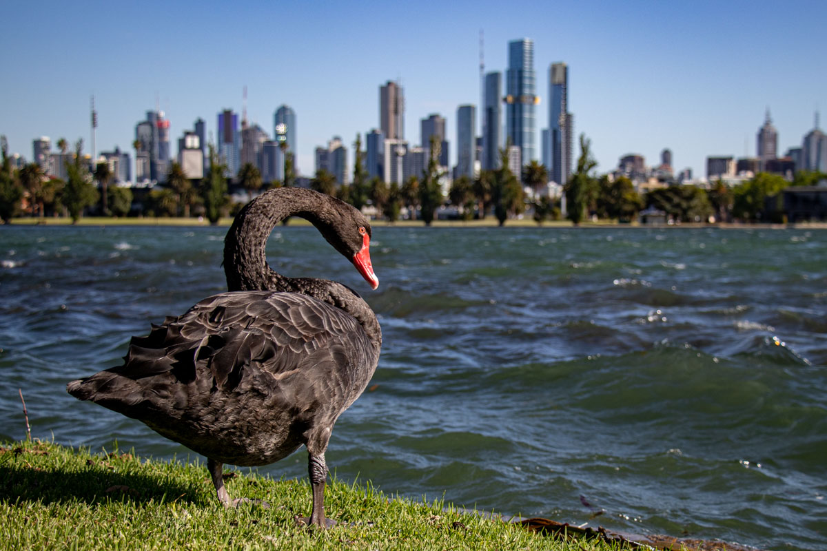 Black Swan - Our favourite parks of inner city Melbourne