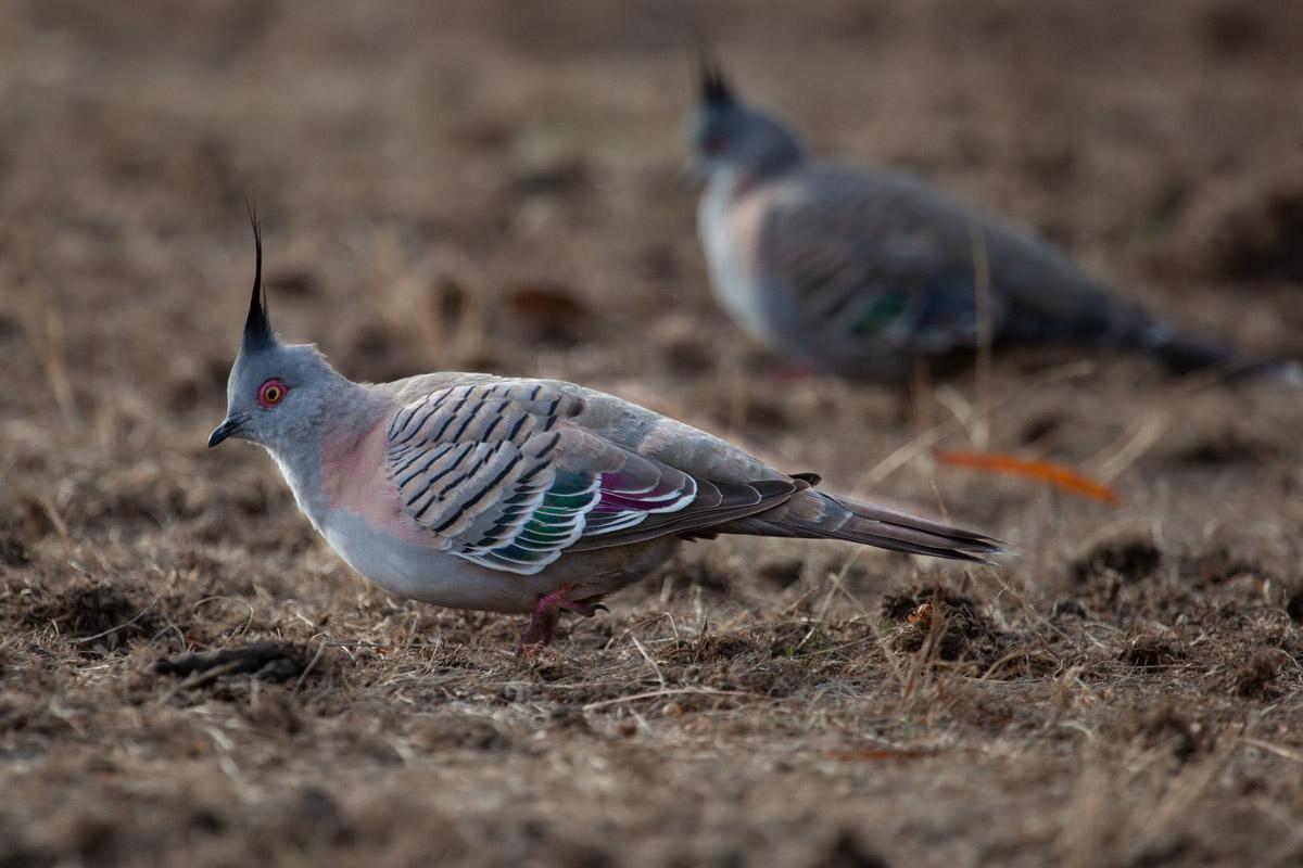 Crested Pigeon - Woodlands Historic Park