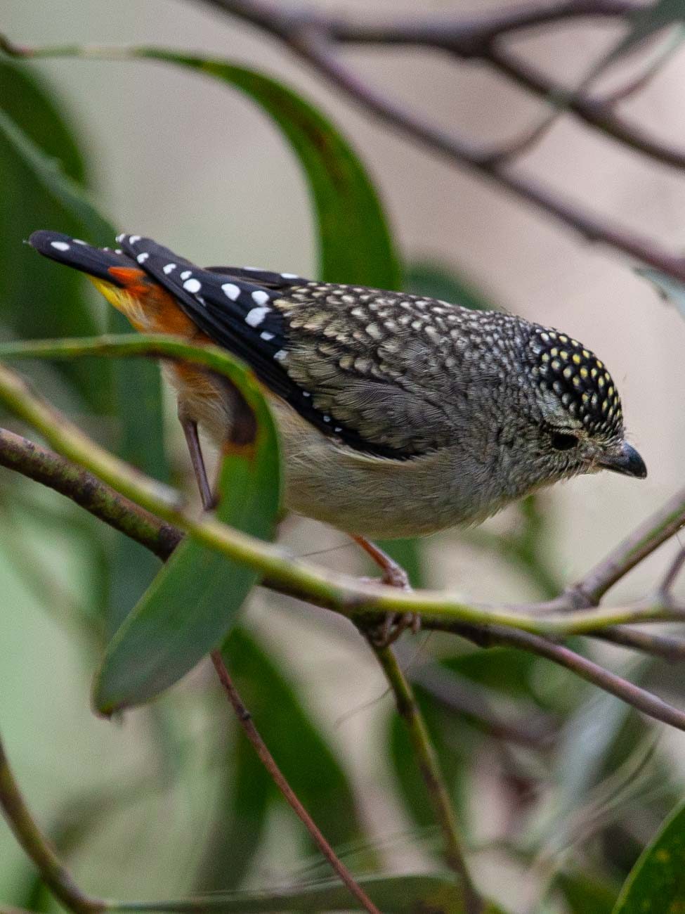 Spotted Pardalote in Yarra Bend Park - Our favourite parks of inner city Melbourne