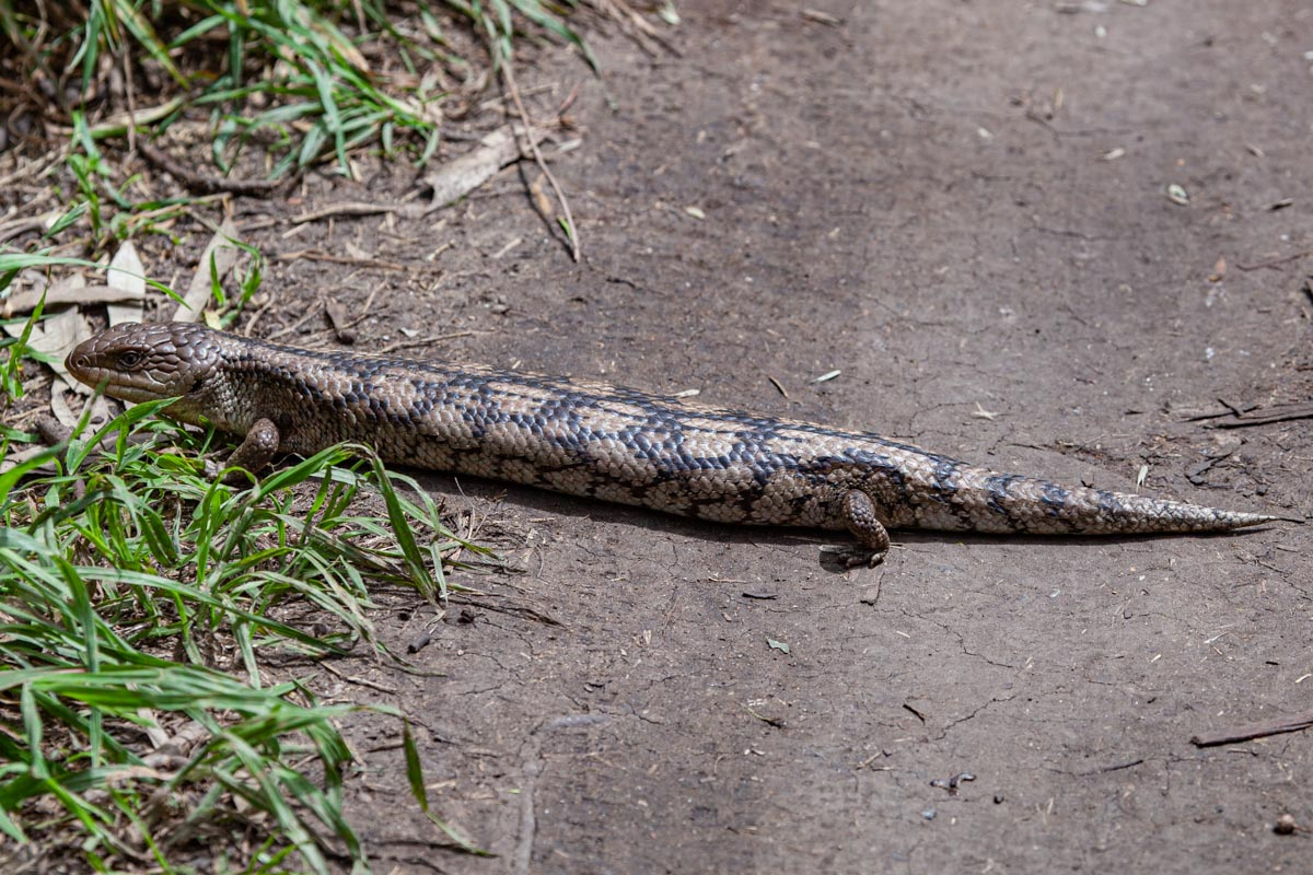 Blue Tongued Lizard in Yarra Bend Park - Our favourite parks of inner city Melbourne