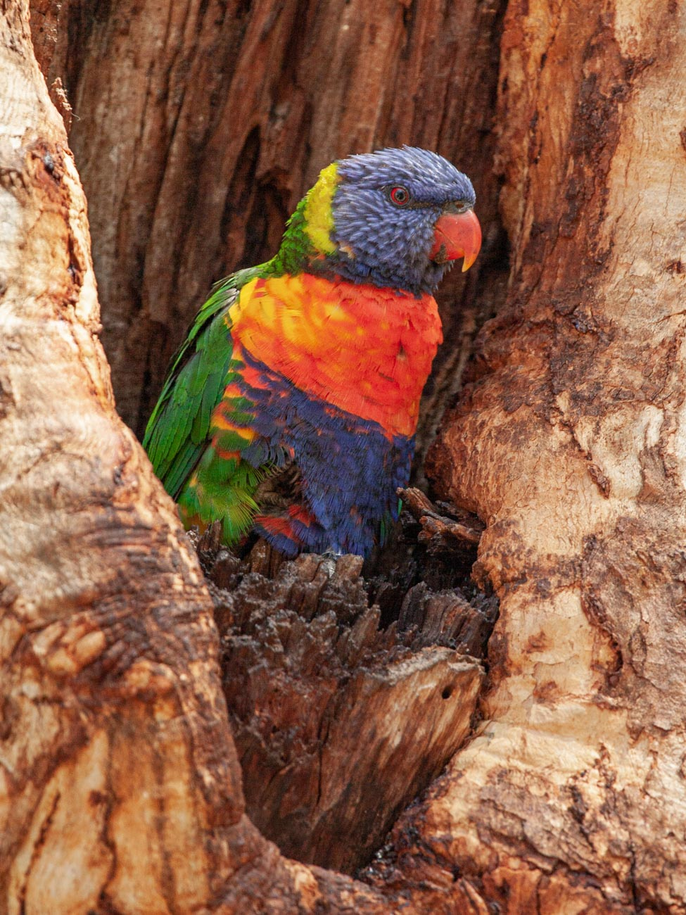 Rainbow Lorikeet - Woodlands Historic Park