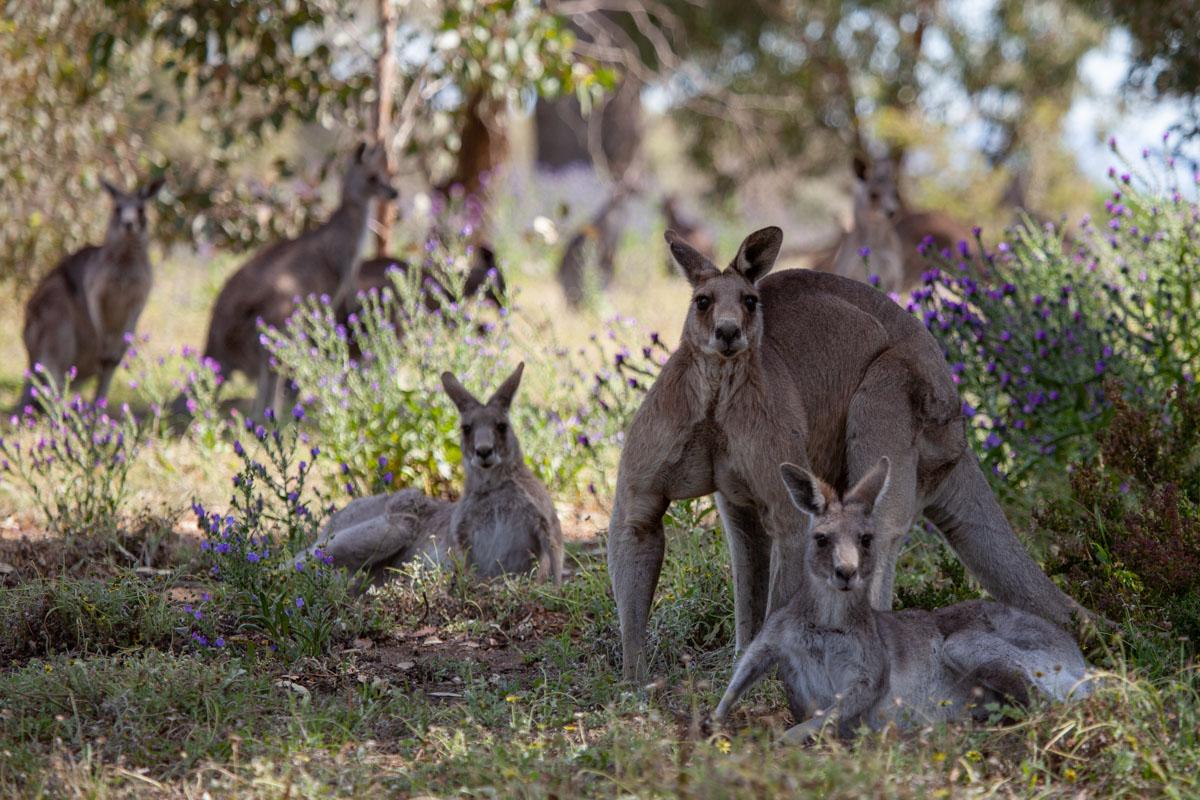 Mob of Kangaroos at Woodlands Historic Park - Kangaroos close to Melbourne