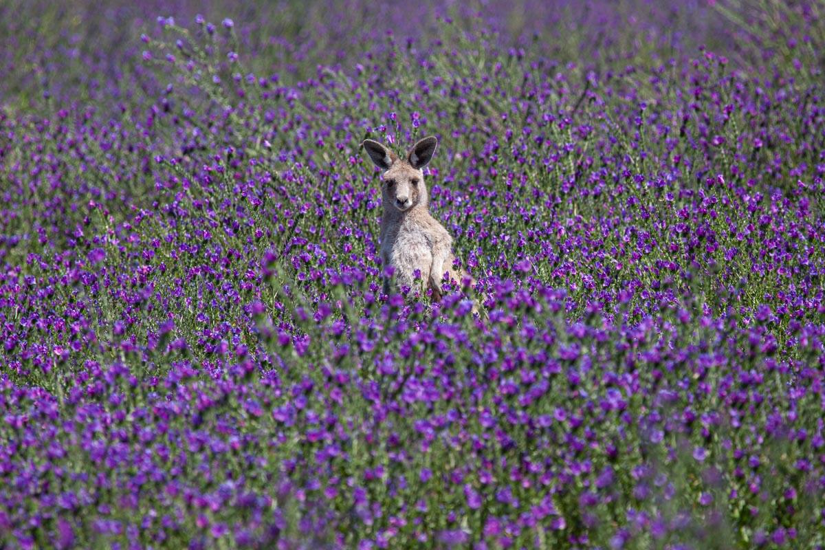 Kangaroos close to Melbourne - Woodlands Historic Park