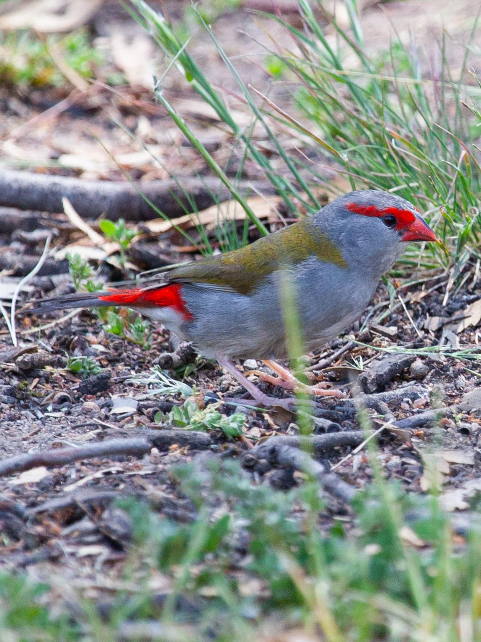 Red-Browed Finch - Woodlands Historic Park