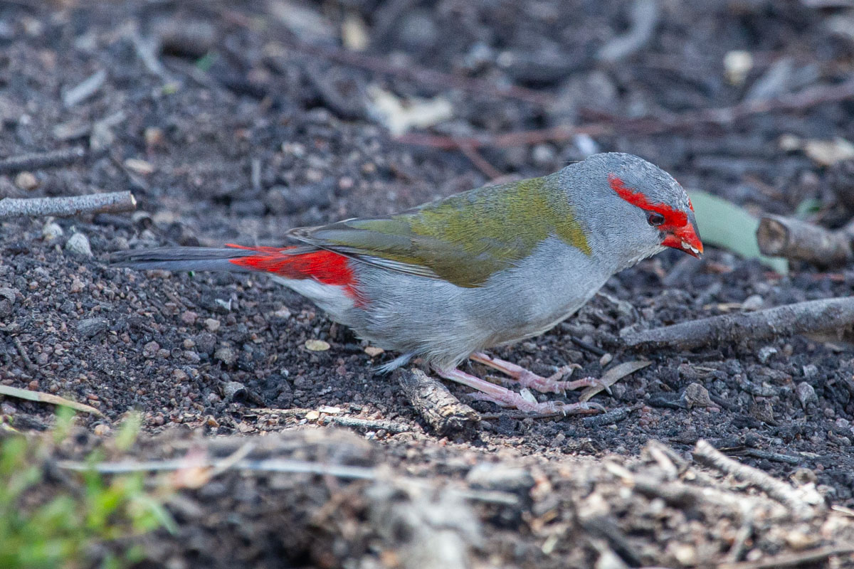 Red-Browed Finch - Wildlife of the Grampians