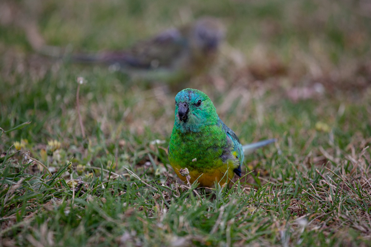 Red-rumped Parrot (Male) - Woodlands Historic Park