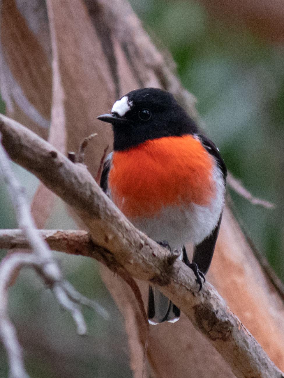 Scarlet Robin - Woodlands Historic Park
