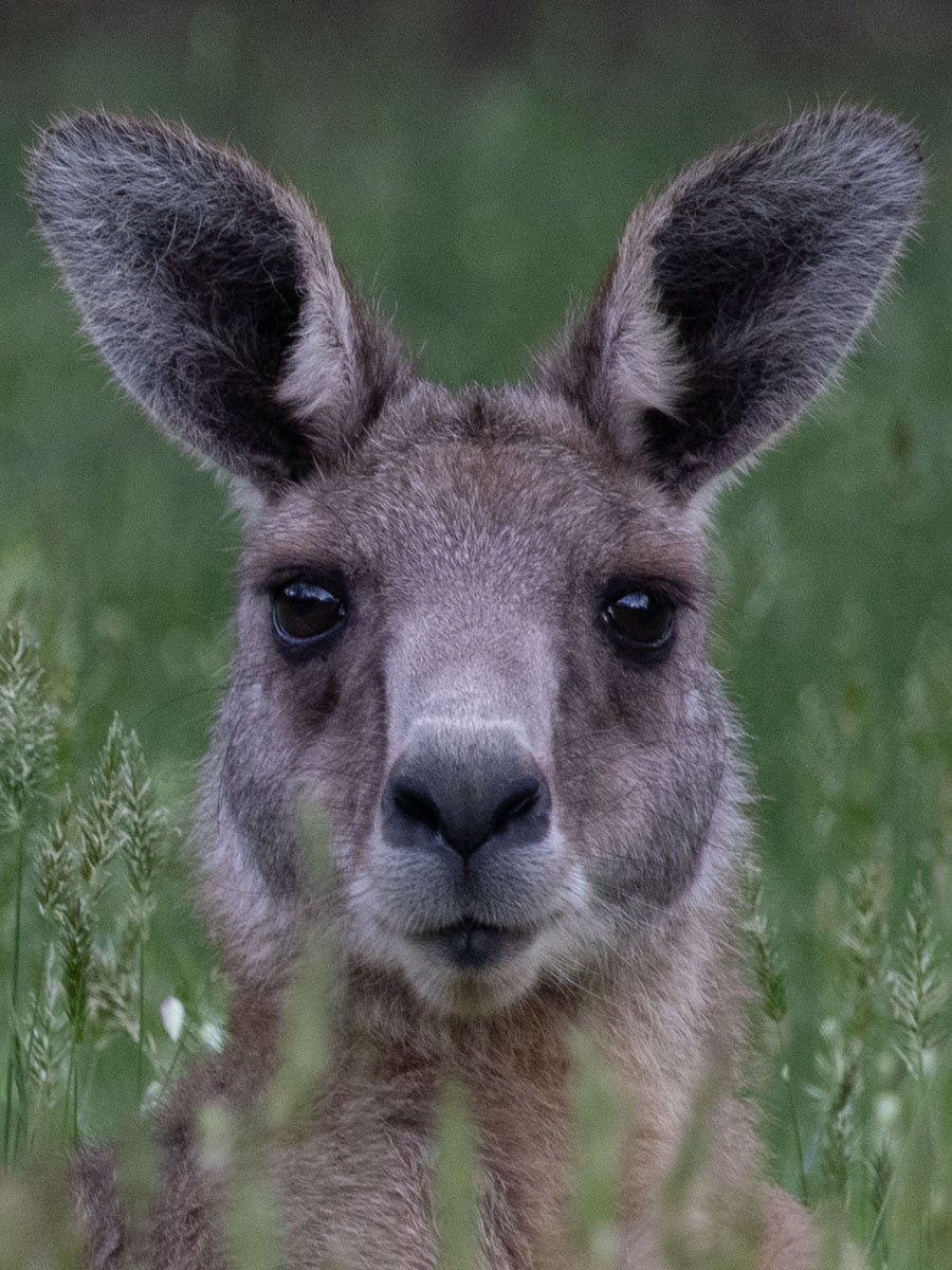 Eastern Grey Kangaroo Headshot