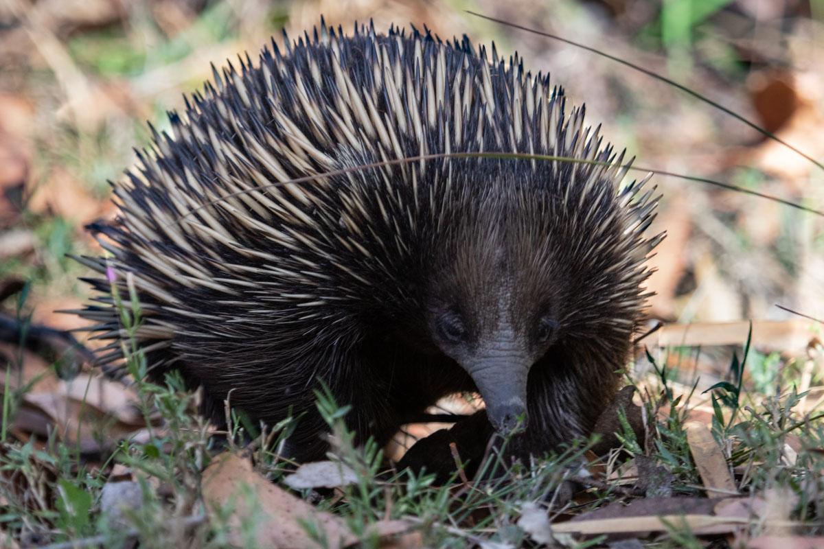 Where to find wildlife in Victoria - Australia - Echidna