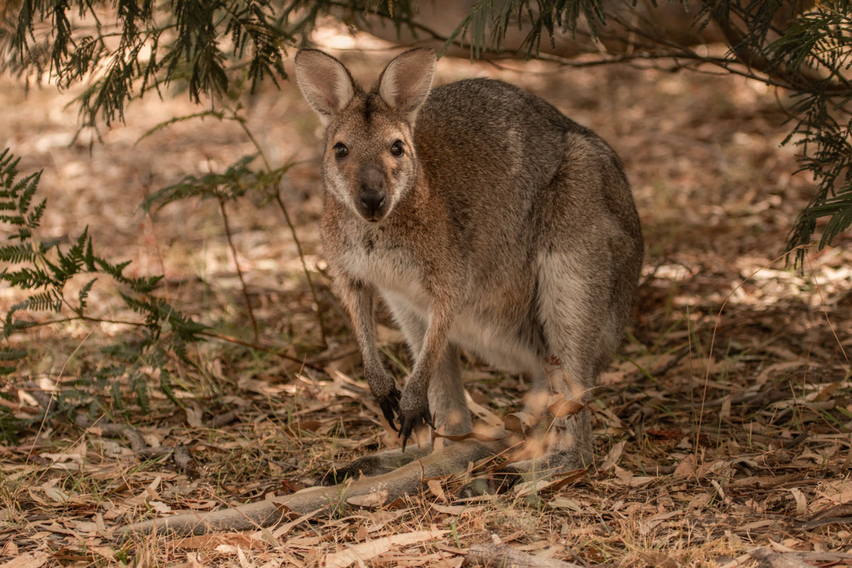 Where to find wildlife in Victoria - Australia - Red-Necked Wallaby