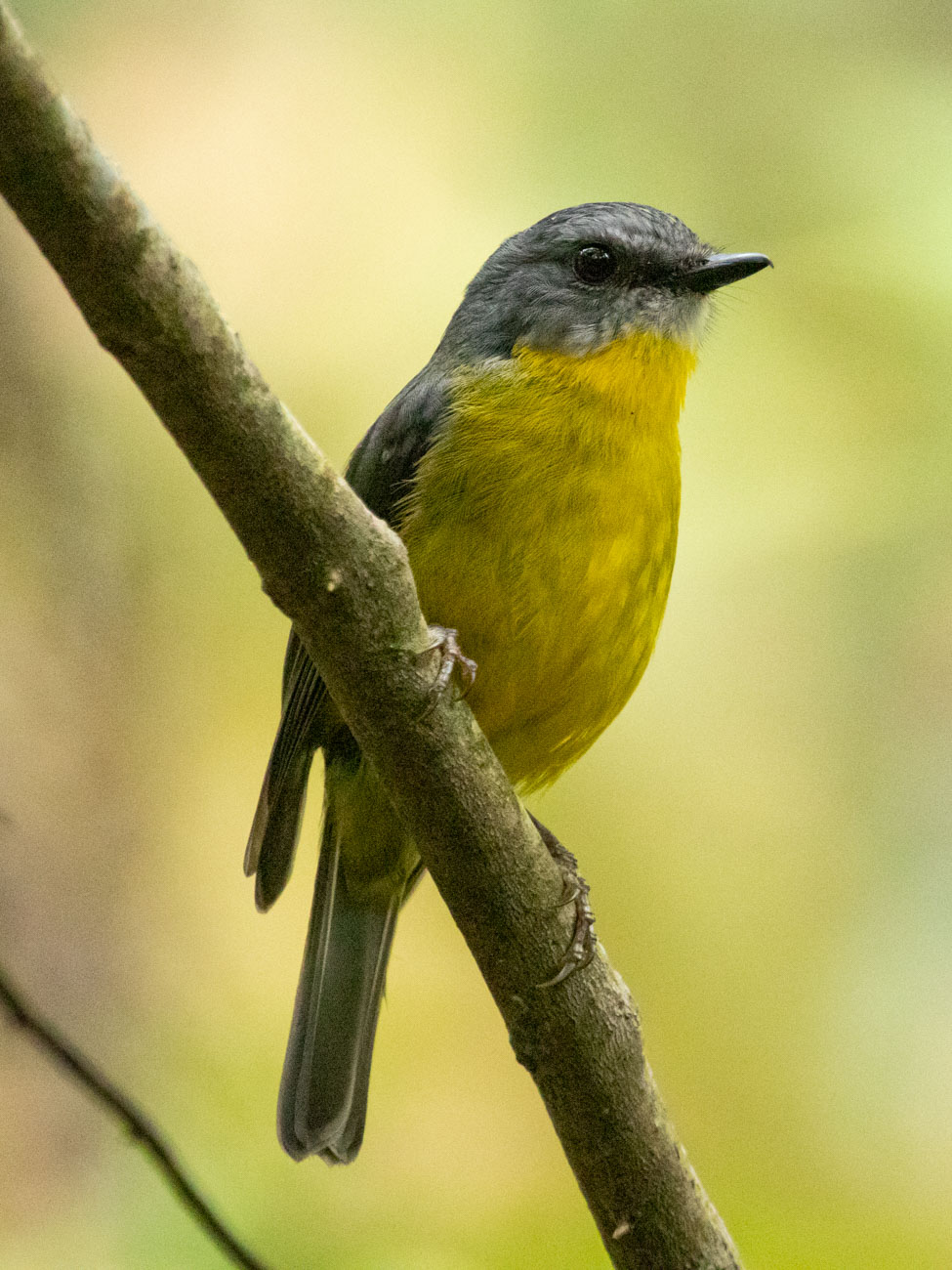 Eastern Yellow Robin - Woodlands Historic Park