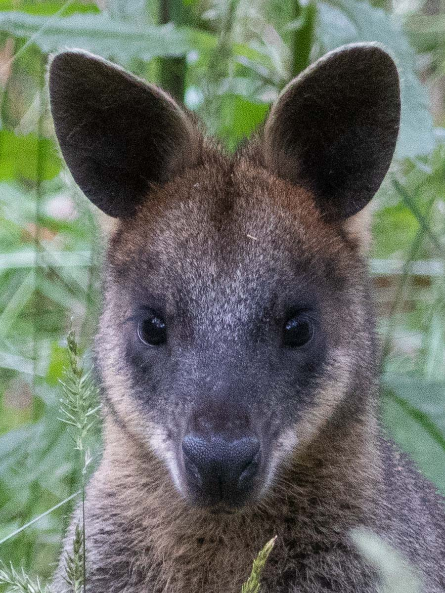 Swamp Wallaby Headshot
