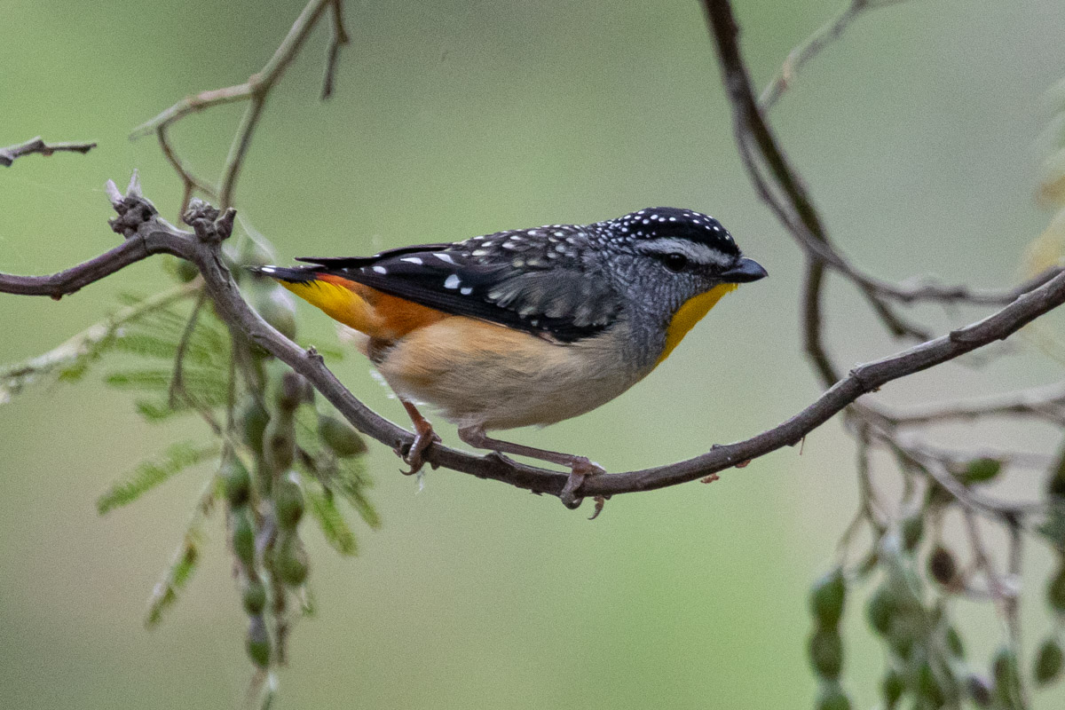 Where to find wildlife in Victoria - Australia - Spotted Pardalote