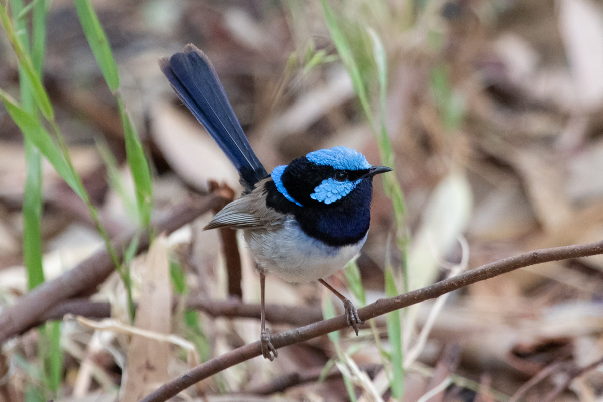 A Superb Fairywren on the Two Bays Walking Track