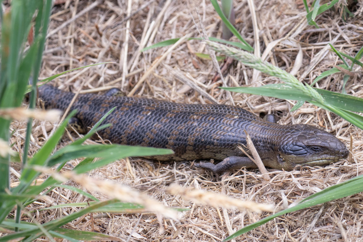 Blue-Tongued Lizard - Two Bays Walking Track