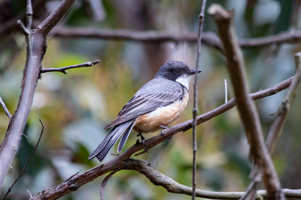 Rufous Whistler - Two Bays Walking Track