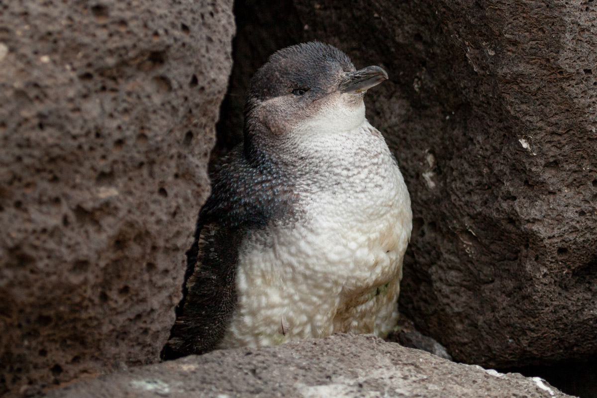 Where to find wildlife in Victoria - Australia - Little Penguin