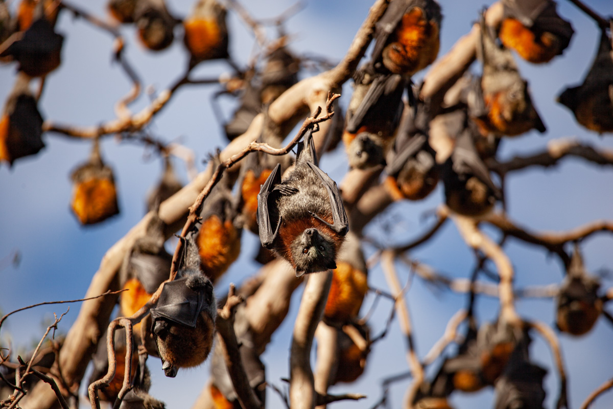 Where to find wildlife in Victoria - Australia - Grey-Headed Flying Fox