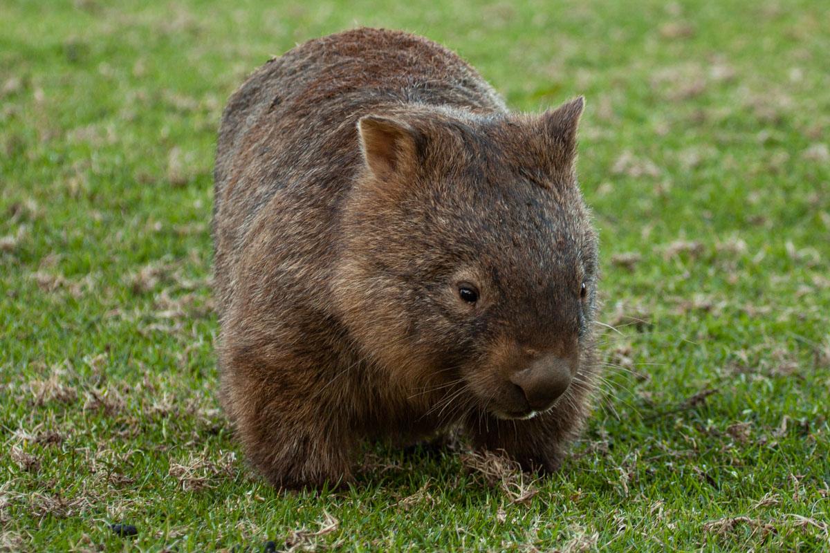 Where to find wildlife in Victoria - Australia - Common Wombat