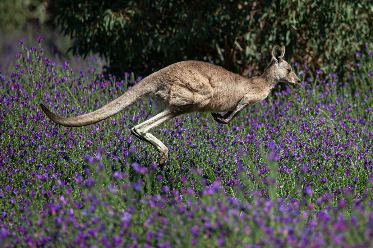 Where to find wildlife in Victoria - Australia - Kangaroo