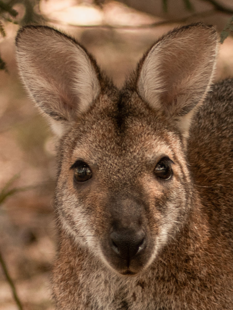 Red-Necked Wallaby Headshot