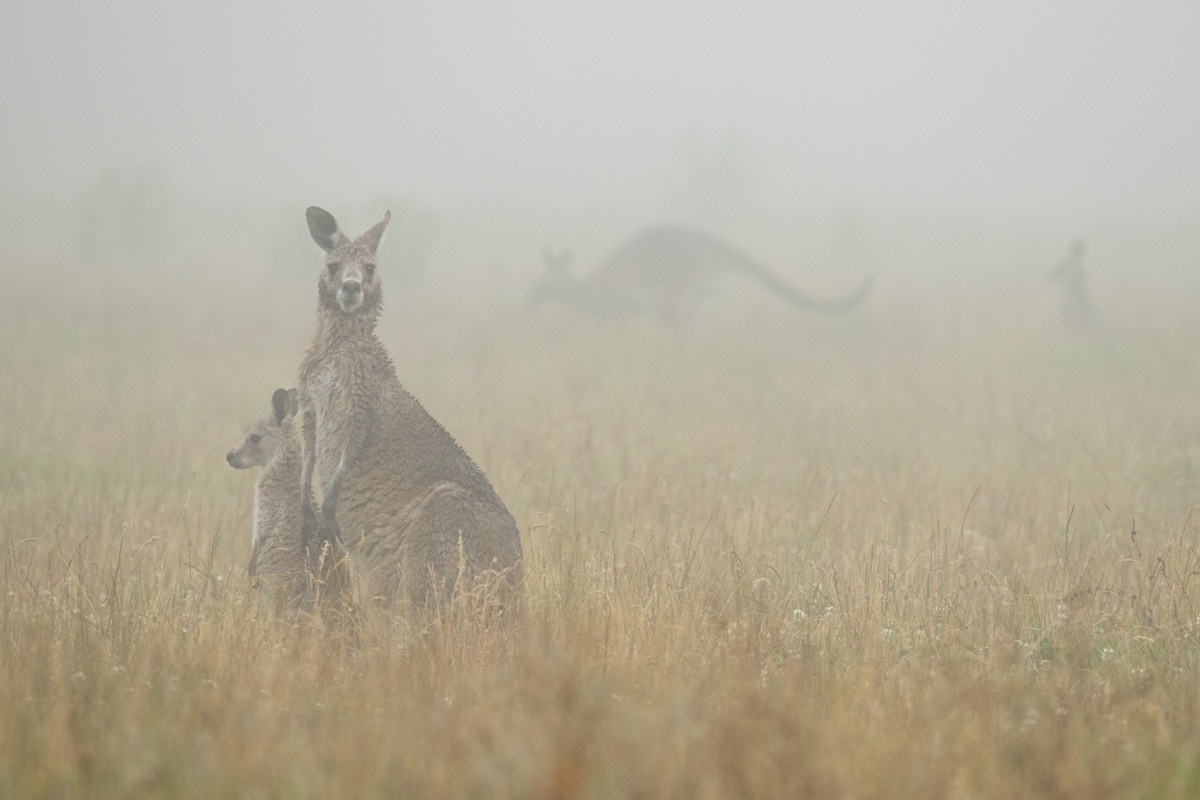 Eastern Grey Kangaroo, The Great Otway National Park
