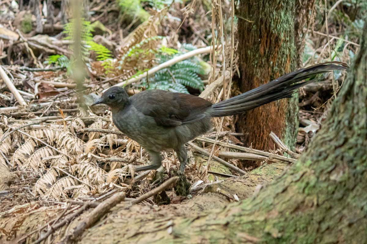 Lyrebird at the Dandenong Ranges