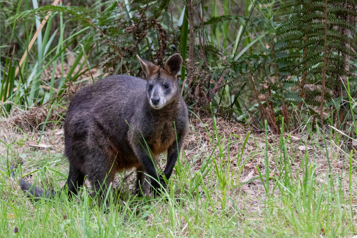 Swamp Wallaby in the Dandenong Ranges