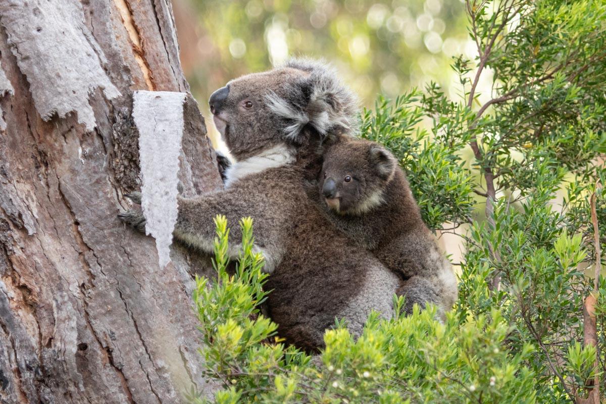 Where to find wildlife in Victoria - Australia - Koala