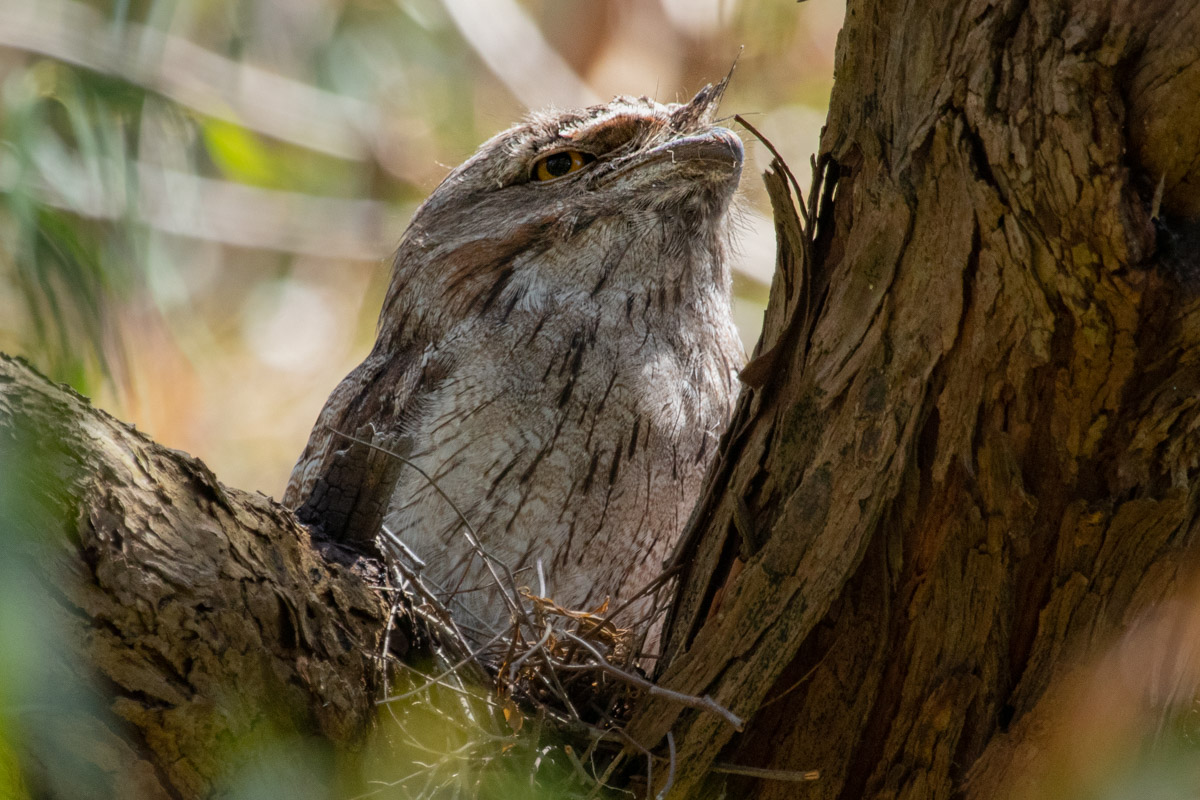 Where to find wildlife in Victoria - Australia - Tawny Frogmouth