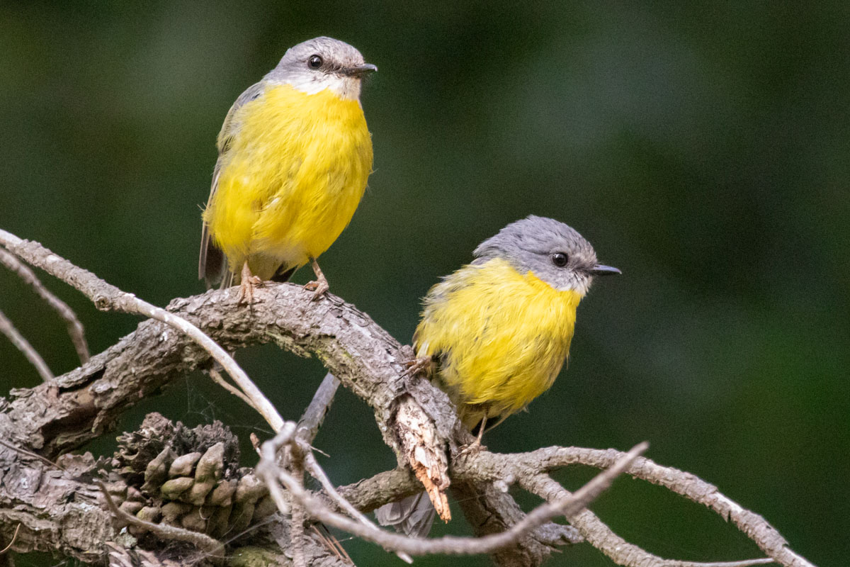 Eastern Yellow Robins in the Dandenong Ranges