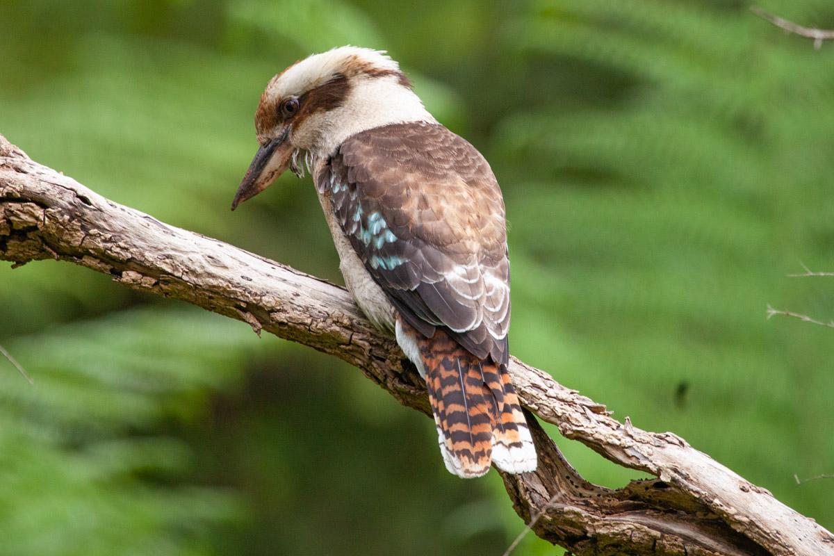 Kookaburra in the Dandenong Ranges