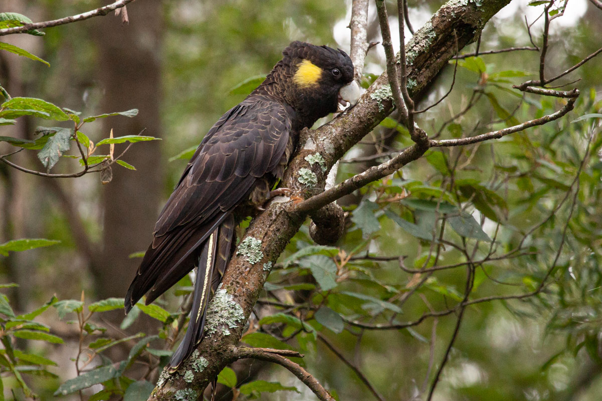 Yellow Tailed Black cockatoo in the Dandenong Ranges