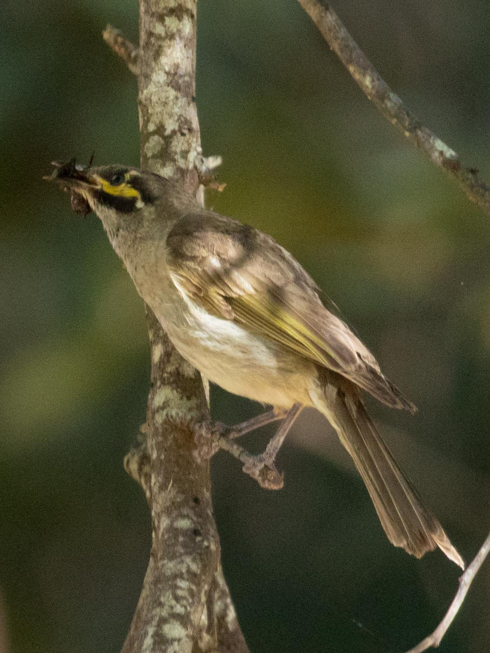 Cathedral Range - Yellow-Faced Honeyeater