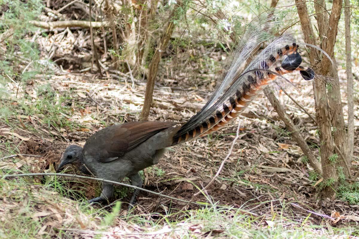 Where to find wildlife in Victoria - Australia - Superb Lyrebird