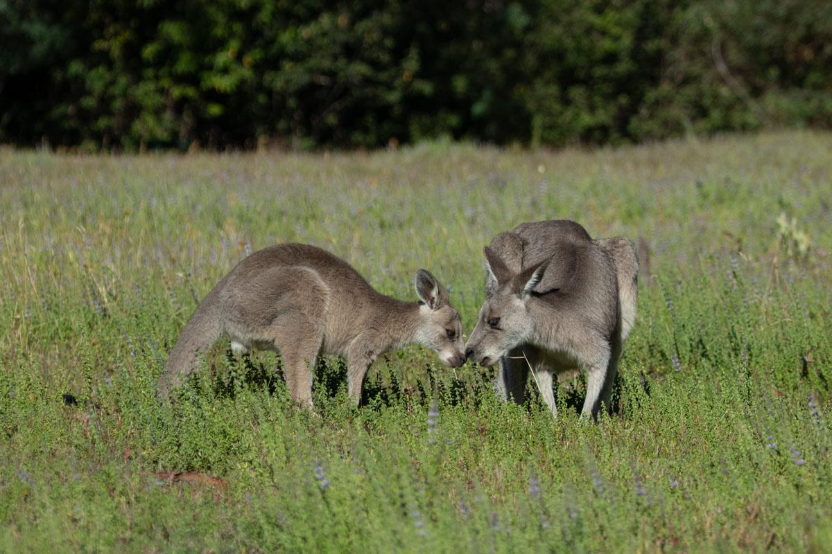 Kangaroos at Cooks Mill Campground