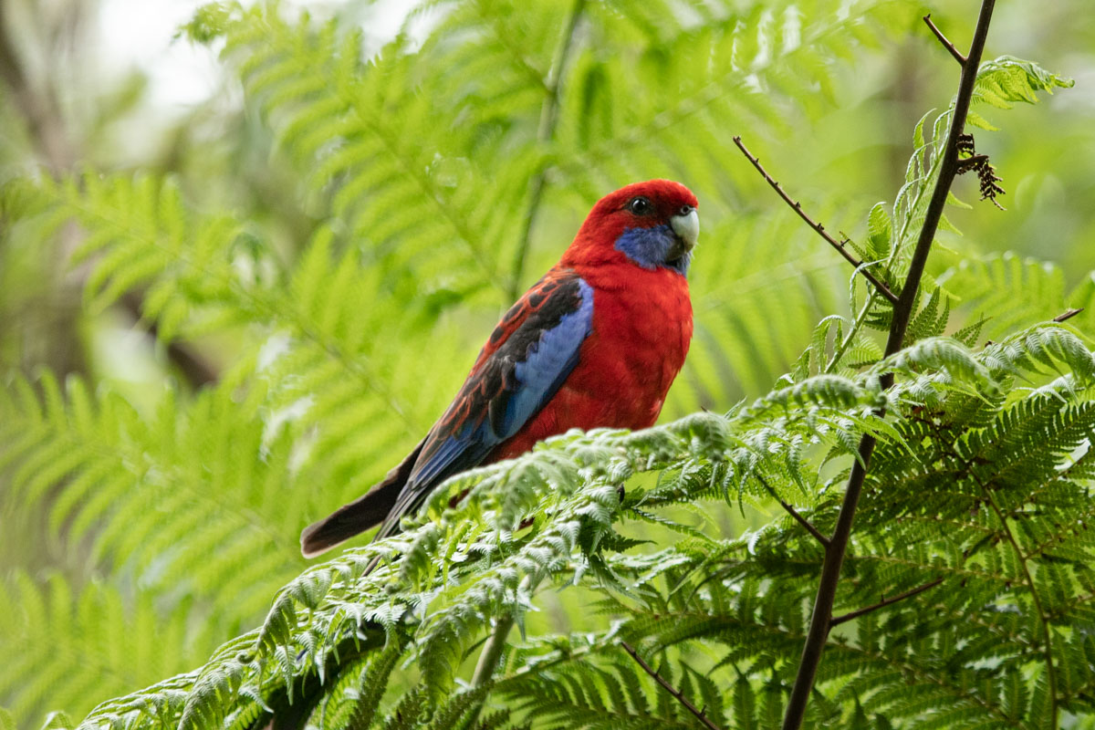 Crimson Rosella - The Friends Nature Walk