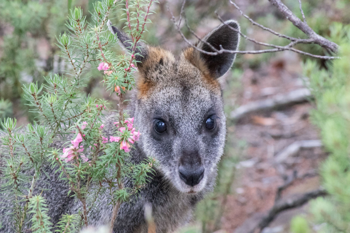 Young Swamp Wallaby on Mount Sturgeon