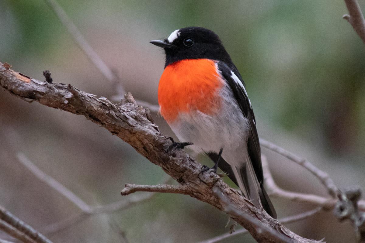Scarlet Robin - The Grampians