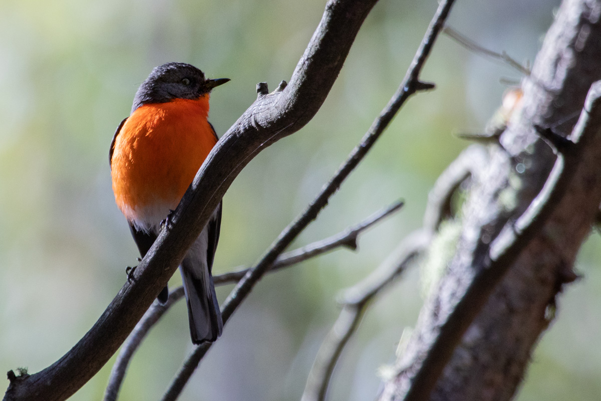 Flame Robin - Woodlands Historic Park