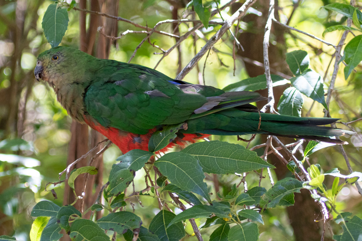 King Parrot - Telopea Road