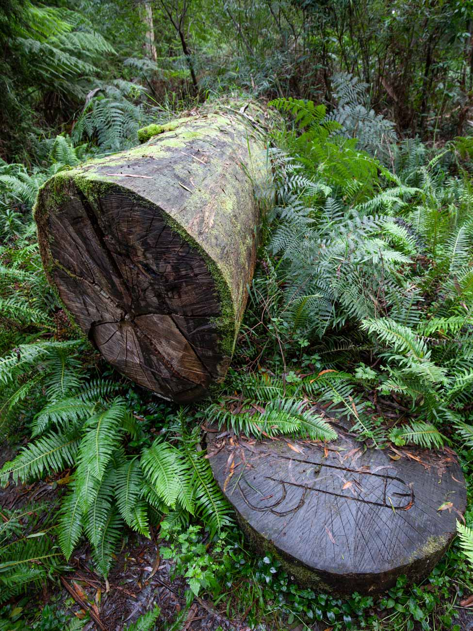 Fallen tree - Dandenong Ranges Tourist Track