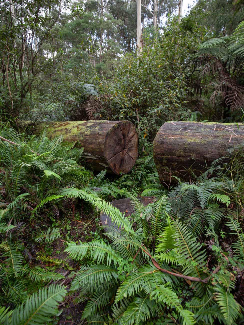 Fallen tree - Dandenong Ranges