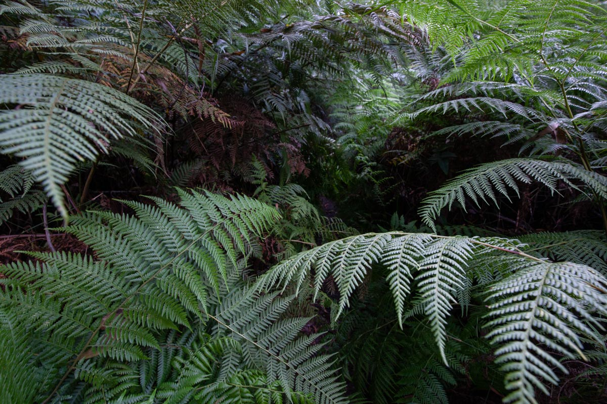 Tall ferns on the Dandenong Ranges Track