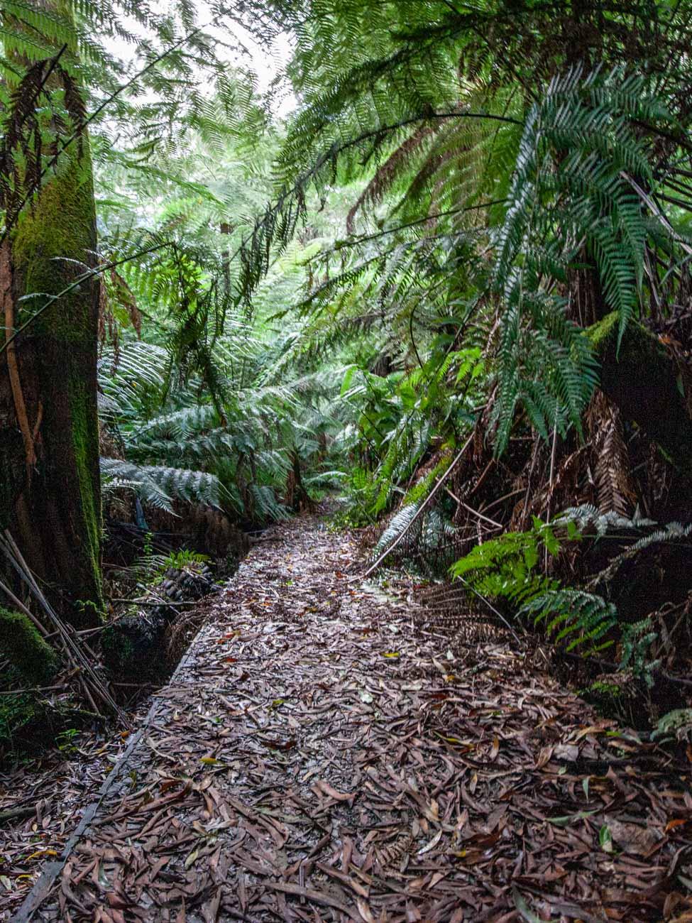 leaf-covered boardwalk - The Dandenongs