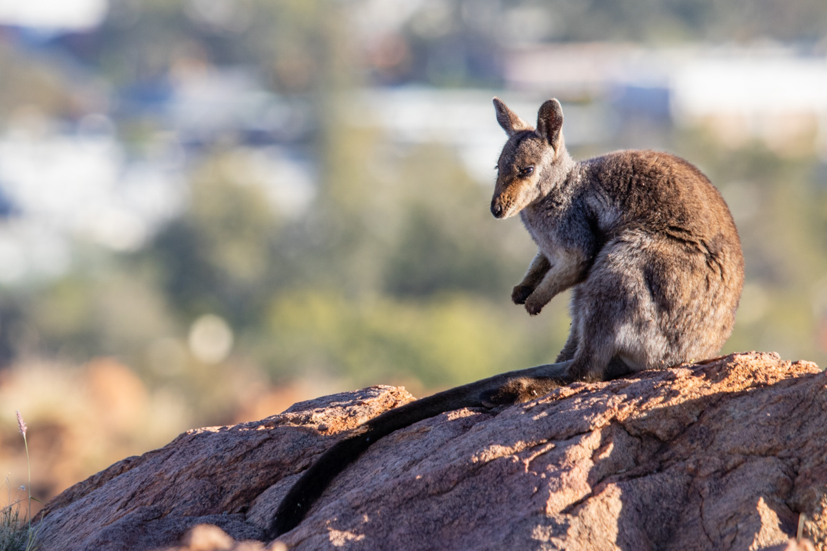 Olive Pink Botanic Garden - Black Footed Rock Wallaby